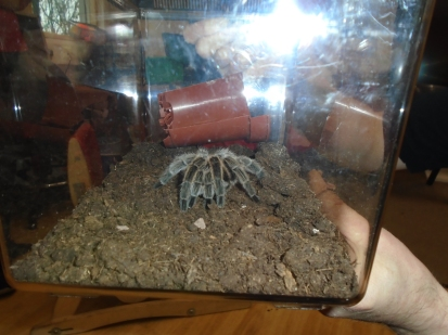 Beyonce the tarantula
